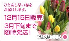 チューリップ 切花